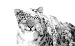 Snow Leopard03
