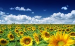 Summer_Sunflowers_1920