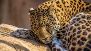 03502_leopard_1920x1080