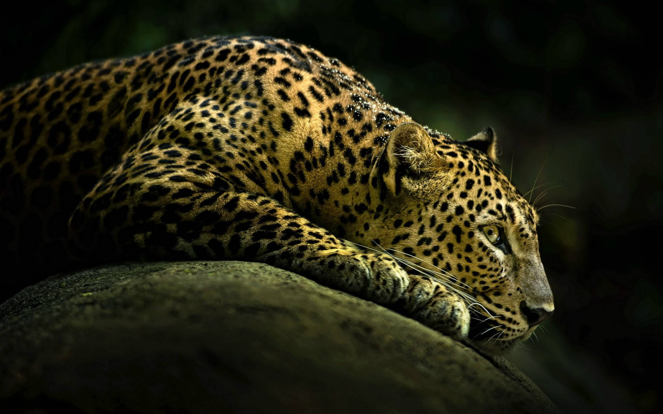 Animals wallpaper set 15 awesome wallpapers - Jaguar animal hd wallpapers ...