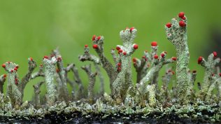 2013-12-21_EN-GB13154017485_Cladonia-floerkeana-lichen-growth-in-Eifel-Germany