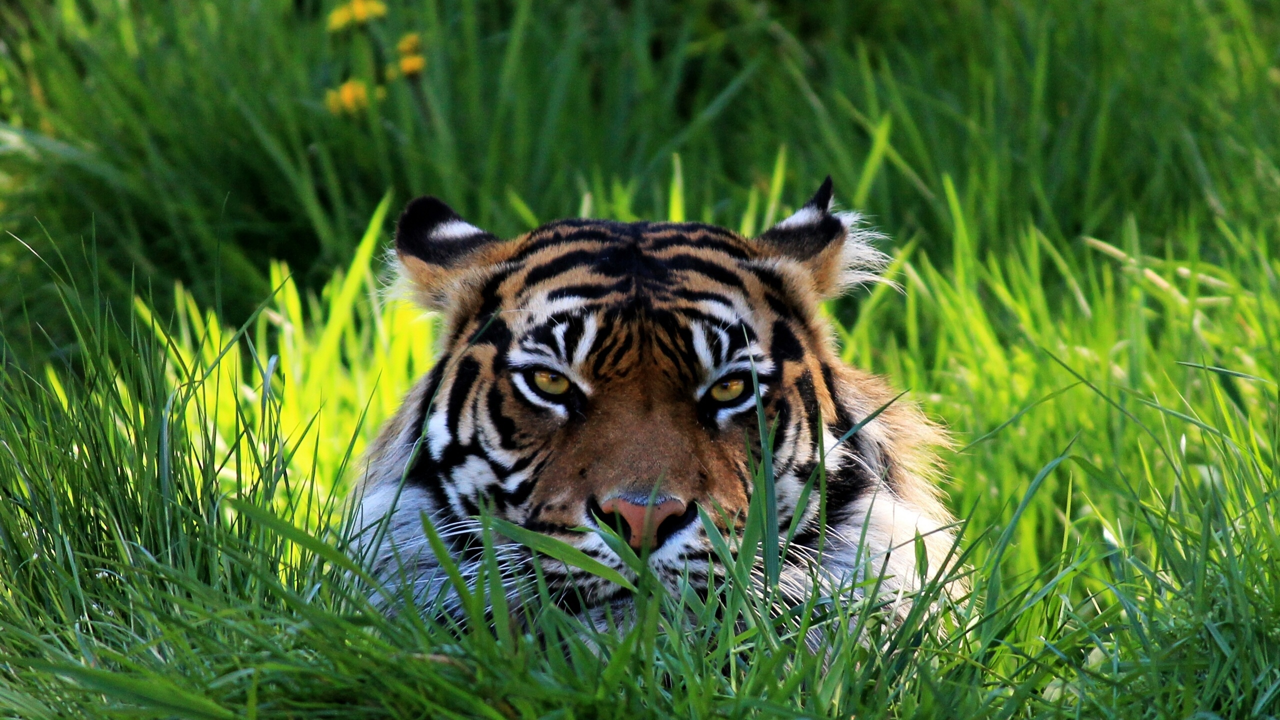Tiger Wallpapers  Full HD wallpaper search