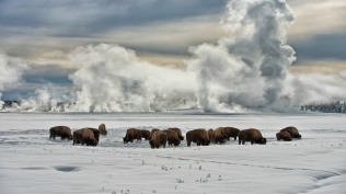 2014-01-09_EN-AU8522528048_American-bison-wintering-at-Fountain-Flats-Yellowstone-National-Park-Wyoming_1920x1080