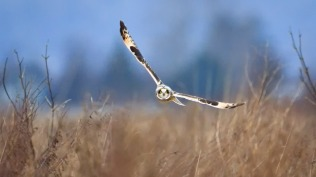 2014-01-11_EN-AU10330937559_Short-eared-owl-Samish-Island-Washington_1920x1080