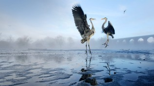 2014-01-11_EN-GB13073412442_Two-Grey-herons-Ardea-cinerea-squabbling-over-fish-River-Tame-Stockport-Greater-Manchester_1920x1080